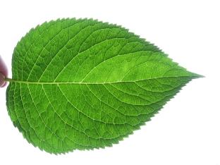 Leaf fractal