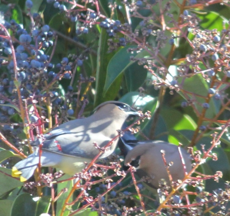 waxwingsingle2