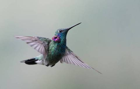 beija-flor-de-orelha-violeta-662x0_q70_crop-scale