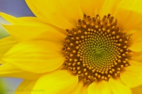 sunflower Ania Archer